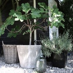 My precious little fig tree in concrete pot Outdoor Pots, Outdoor Life, Outdoor Gardens, Rue Verte, Small Outdoor Spaces, Concrete Pots, Black Garden, Potted Trees, Interior Garden