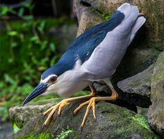 Black-crowned Night Heron - Wonderful shot by Shaunda Lee - great photographer, follow the photo to her other works