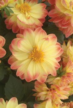"""~~Dahlietta Apricot Sunrise ~  produces vibrant flowers that are perfect for garden borders or in containers and window boxes.  Attracts butterflies and hummingbirds.  Will grow to 8 - 10"""" tall 