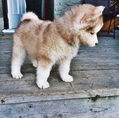 Cute little brown pomsky puppy - Tap the pin for the most adorable pawtastic fur baby apparel! You'll love the dog clothes and cat clothes! Pomsky Puppies, Puppies And Kitties, Husky Puppy, Cute Puppies, Cute Dogs, Doggies, Huskies Puppies, Malamute Puppies, Puppys