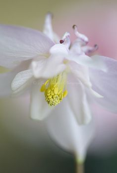 Aquilegia Breeze | Flickr : partage de photos !