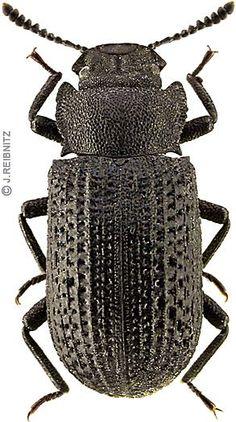 Bolitophagus reticulatus. Besouro saproxylic.