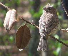 Baby House Finch Waiting For Mama to Feed - The Nature In Us Newsletter - 6/1/15