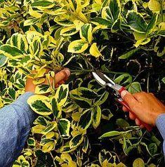 kecskerágó szaporítása - gazigazito.hu Diy Garden Decor, Garden Ideas, Garden Stones, Garden Trowel, Permaculture, Container Gardening, Shrubs, Outdoor Gardens, Fall Decor