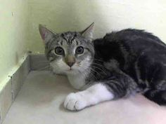 NYC **Kitten So Tempted to Trust** TO BE DESTROYED 02/09/15 FLO does not come to the front but is calm and relaxed inside her cage. She allows touch, but seems unsure; ID # A1026590. Female brn tabby & white about 6 MONTHS old. STRAY. I came in with Group/Litter #K15-002500. https://www.facebook.com/nycurgentcats/photos/a.951777638173557.1073742588.220724831278845/951777668173554/?type=3&theater
