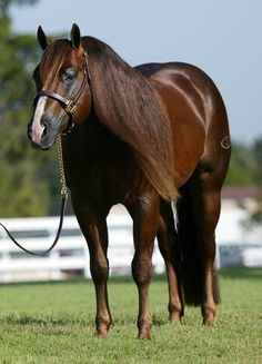 Magnum Chic Dream AQHA Stallion