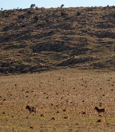 Zebra in Kgaswane Mountain Reserve African Image, Tourist Information, Image Of The Day, South Africa, Places To Go, Wildlife, Mountain, Travel, Trips
