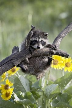 "Racoon-this is so Rascal! He thinks he can climb everything then ""can't"" get down!"