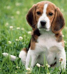 beagle basset hound mix puppies - Google Search