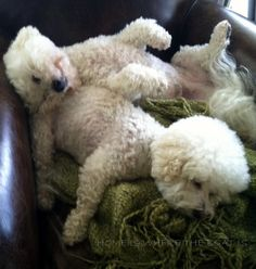 This describes Bichons when they sleep.