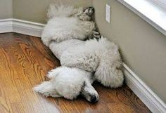 Sleeping Poodles Does your fur friend sleep in any position too???