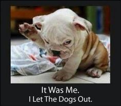 Very interesting post: English Bulldog Puppies - 45 Pictures.сom lot of interesting things on Funny Dog. Funny Dog Photos, Funny Dog Videos, Funny Images, Funny Dogs, Funny Animals, Funny Pictures, Cute Animals, Animal Pictures, Animals Dog