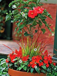 A. Hibiscus rosa-sinensis — 1  B. Japanese bloodgrass (Imperata cylindrica 'Rubra') — 3  C. Salvia (Salvia splendens) — 3  D. New Guinea impatiens (Impatiens 'Celebration Deep Red') — 3