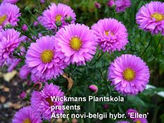 Aster n-b -hybrid 'Ellen' is an early flowering aster from north of Finland. Most winterhardy and starts flowering from mid-end of August continuing into real winter in November-December.