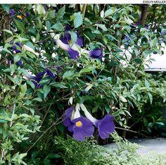 Quer uma cerca viva que floresça? As espécies tumbérgia-azul-arbustiva, jasmim-amarelo e abélia são adequadas.