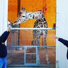 Paint with Ozzie the Giraffe – Adventures and Bucketlist