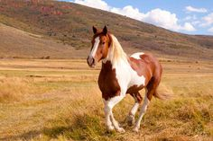 piebald horse - Yahoo Image Search results | Horses (real ...