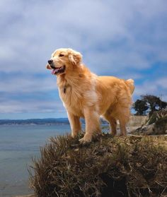 Admiring the view ~ so pretty : )  Can't tell if this is a photo or painting of a Golden Retriever? <3<3<3<3