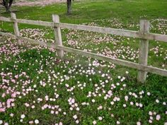 Pink poppies growing along the Country fence...
