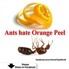 Ants Hate Orange Peel - Mix orange peels and water, spray the solution outside your home, will prevent ants from coming in. Similar thing goes for using orange peels to keep flies away. Hang up orange peel around your patio and it will keep them away.