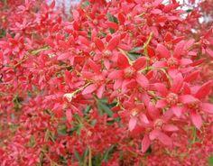 Christmas Bush - Christmas Bush - Fleurs - Fleurs par catégorie | Sierra Flower Finder