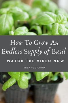 Gardening Flowers How To Propagate Basil Video Learn How To Grow An Endless Supply Of Basil Growing Herbs, Growing Vegetables, Regrow Vegetables, Growing Mint, Veggies, Gardening For Beginners, Gardening Tips, Outdoor Plants, Outdoor Decor
