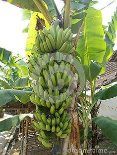 Banana tree bunch fruits on it