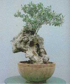 Bonsai - Olivo, Aceitunero, Aceituno, Olivera