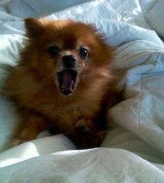 How to stop your Pomeranian barking incessantly - Where Mommies of the Pomeranian Dog Breed can gather, socialize and find tips on Treats, Toys and Pomeranian Parenting