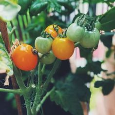 gdyby mi ktoś powiedział, że w tym roku będę jeść pomidorki zerwane z własnego krzaczka na balkonie, to bym nie uwierzył 🤷🏻♂️ w zasadzie to nadal w to nie wierzyłem sadząc do skrzynek sadzonki 🌱 a tu proszę, takie cuda! 🍅 #vegan #urbangarden #plantbased #whatweganseat #vegangardener #eatyourveggies Stuffed Peppers, Vegetables, Cooking, Amazing, Instagram, Food, Kitchen, Stuffed Pepper, Essen