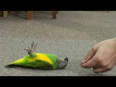 Kili Senegal Parrot - Dead Parrot or Just A Trick? Dumb Animals, Senegal Parrot, Diy Bird Toys, Funny Parrots, Funny Birds, Love Your Pet, Conure, Budgies, Exotic Pets