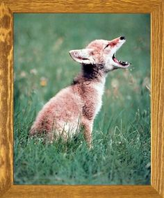 Bring this impressive nature scenery art print framed poster which depicts the image of adorable Coyote pup is sure to attract you and your guests towards it. It would be an idle gift for any wildlife nature lover. Its wooden brown rust frame accentuates the poster mild tone. The frame is made from solid wood measuring 19x23 inches with a smooth gesso finish. This framed poster includes a wire hanger on the back for easy display.