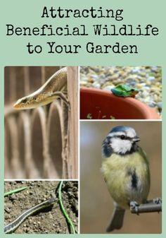 Attracting beneficial wildlife is easy if you know a little about their needs. Here's how to attract beneficial birds, frogs, toads, lizards, and snakes.