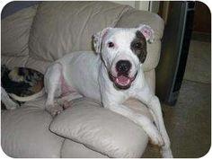 Aurora, IL - American Pit Bull Terrier. Meet Lexie a Dog for Adoption.