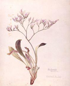 [ Art: Lavender ] Botanical illustration by Beatrix Potter:  Sea Lavender 1899