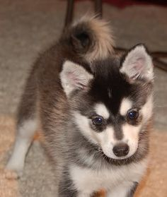 The Alaskan Klee Kai is one of the new breeds. It is a smaller version of the Siberian Husky. This breed is extremely rare Alaskan Malamute Puppies, Alaskan Husky, Siberian Husky Puppies, Alaskan Klee Kai, Miniature American Eskimo, Miniature Husky, Rare Dogs, Toy Dog Breeds, Cute Puppy Pictures