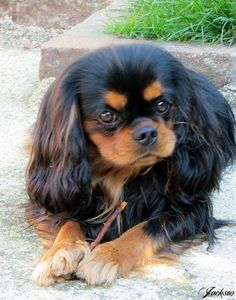 Fun Cavalier King Charles Spaniel And Kids Cavalier King Spaniel, Cavalier King Charles Dog, Cocker Spaniel Puppies, Spaniel Dog, King Charles Spaniel, Cute Puppies, Cute Dogs, Cute Dog Pictures, Cute Little Animals