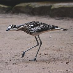 Bush Stone-Curlew in full stealth mode as it passes by. Bird Species, Animal Drawings, Tattoo Ideas, Birds, Babies, Stone, Animals, Babys, Rock