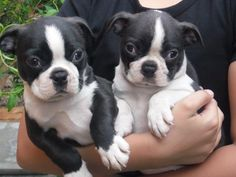 I have a wonderful litter boston pups for sale, both sexes are available. They have been brought up in a family environment and are very loved and cared for, they are very sociable and playful.