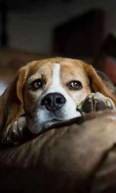 sad beagle photo pics thinking