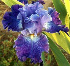 "'Daughter of Stars'-- TB iris, reblooms, 35"", purple luminata color pattern with ruffled flaring form, Wister Medal winner 2007"