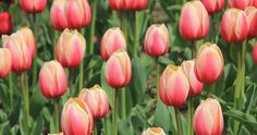 ¿Te gustan tanto los tulipanes como a mí? ¡Entonces descubre toda esta información!