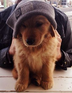 This little Golden Retriever looks so cute in his cap.  #puppied