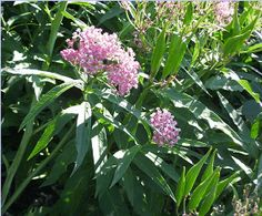Swamp Milkweed, Asclepia incarnata, The plant looks particularly nice around a pond, which is is natural habitat. I plant it with Tall Meadow Rue, Blue Flag Iris, Violets, Royal Fern, and Yellow Wood Poppy. The tallness of Swamp Milkweed makes it a stalely plant in the the garden. The butterflies come to lay their eggs and use the flowers for nectar, and butterflies are always a nice addition to the garden.