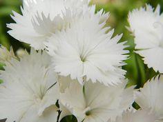 White on White Dianthus Flowers Fine Art Print - Mary Sedivy
