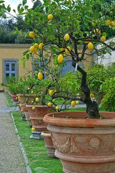 ciao! newport beach: the mystique of a lemon tree