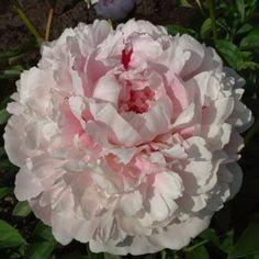 'Reine Hortense' (syn. 'President Taft')