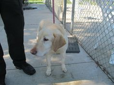 Meet 13 Niko, a Petfinder adoptable Retriever Dog | Canton, OH | Available for adoption on 5/22/2015 Niko is a sweet older gentleman and is questioning how he ended...