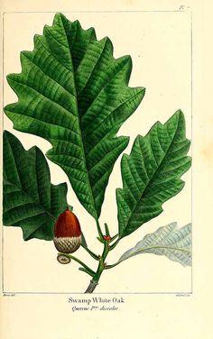 158466 Quercus velutina L'Hérit. ex A. DC. [as Quercus discolor Aiton]  / Michaux, F.A., The North American sylva, vol. 1: t. 7 (1817-1819) [P. Bessa]
