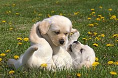 Yellow lab puppies wrestling & playing in dandelions